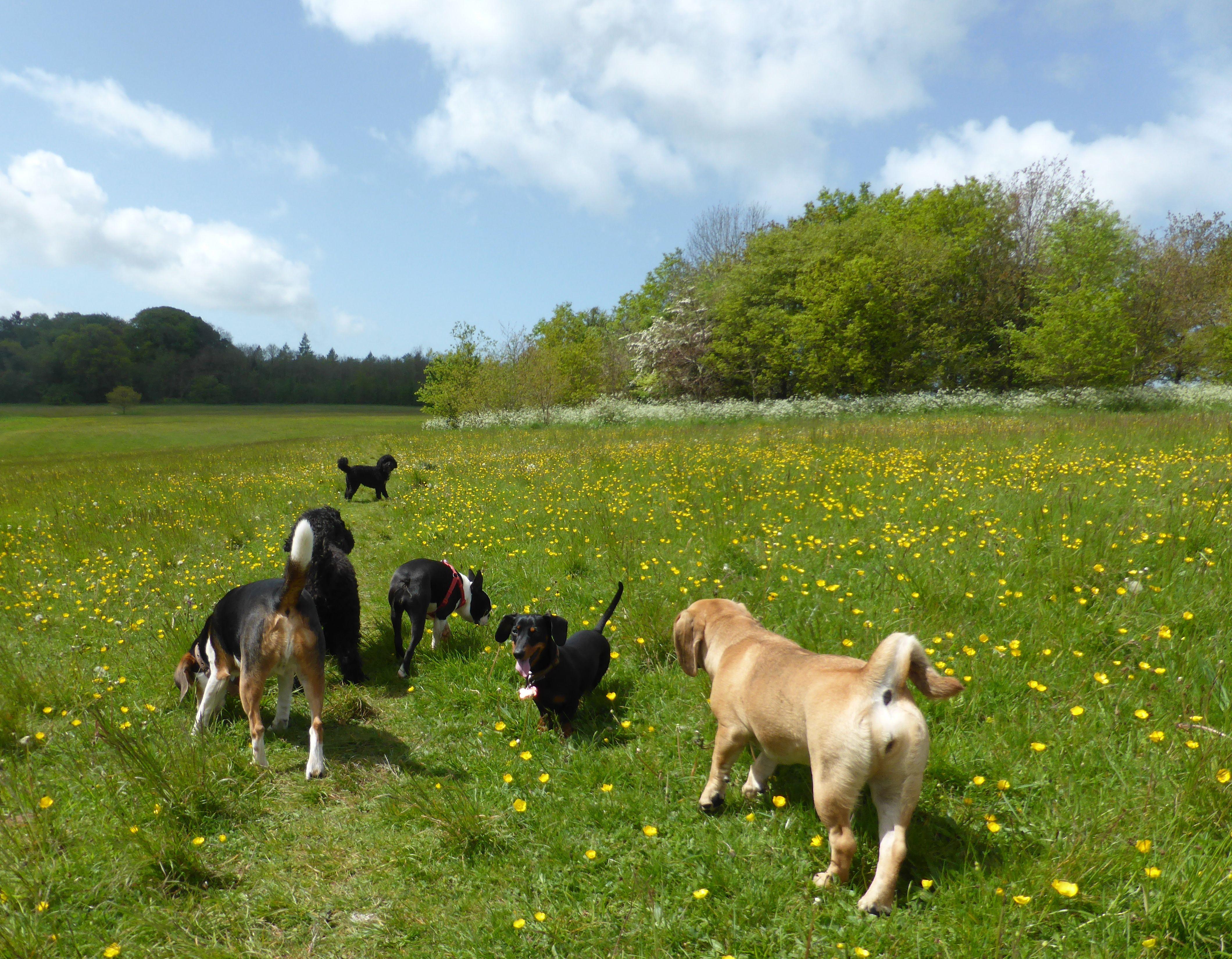 Image of: Training Group Walk At Ashton Court Animal Fair Dog Walking
